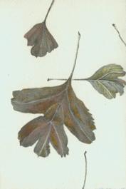 6 English Hawthorn