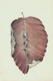 18 Copper Beech