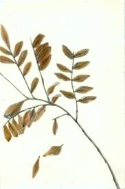 5 Thornless Scarlet Honey Locust