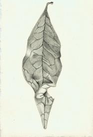 45 Port Wine Magnolia