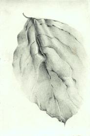 38 Red Crepe Myrtle