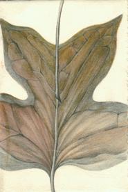 26 Tulip Tree