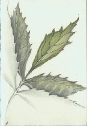 9 White Ash