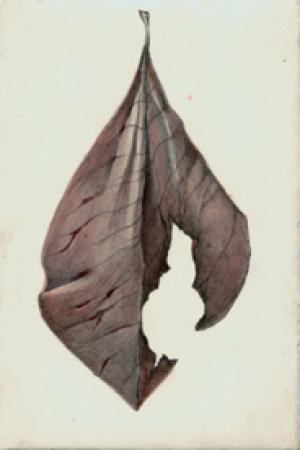 47 Purple Tulip Magnolia