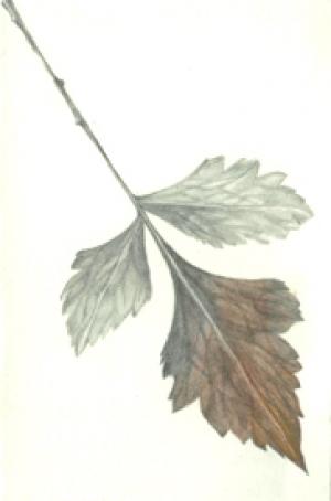 12 Willow Pattern Tree