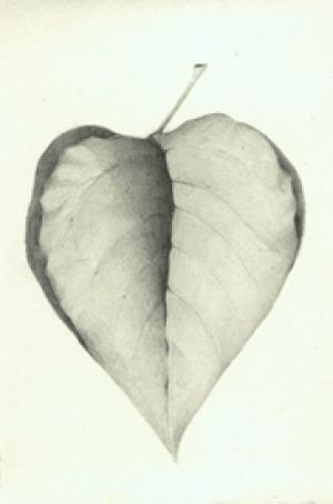 25 Elderberry