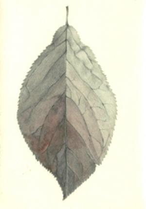 7 Cherry Plum