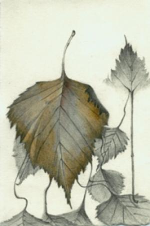 31 Sliver Birch