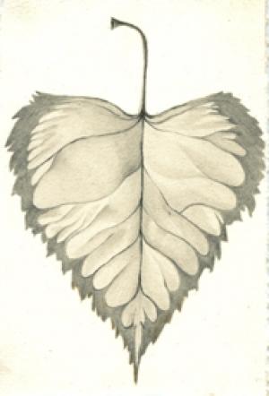 36 Japanese White Birch