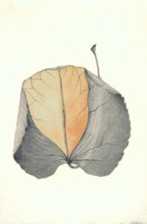 17 Weeping Katsura Tree