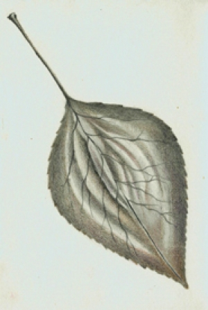 3 Dove Tree